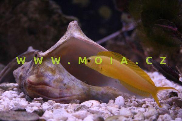 Meiacanthus oualanensis – slizoun kanárkový