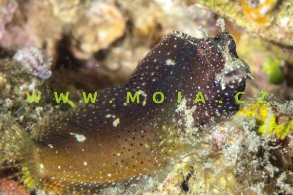 Salarias ramosus  – slizoun vločkovitý
