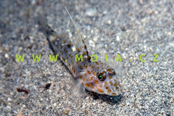 Ctenogobiops tangaroai – hlaváč Tangaroův