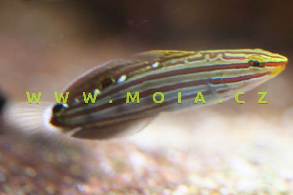Koumansetta cf rainfordi  –  hlaváč Rainfordův