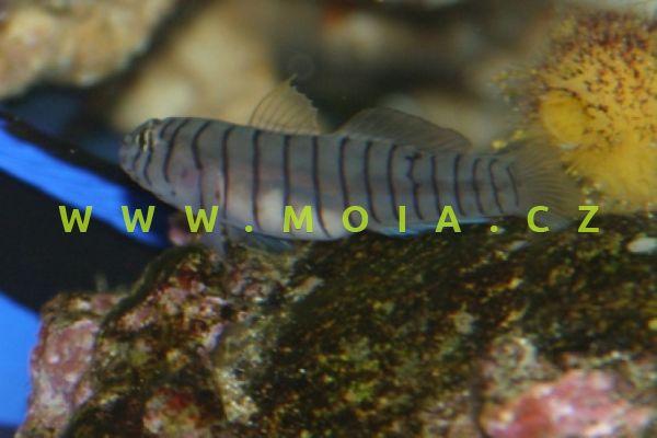 Elacatinus macrodon  – hlaváč velkozubý