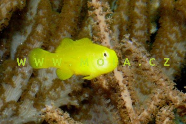 Gobiodon okinawae  – hlaváč okinawský