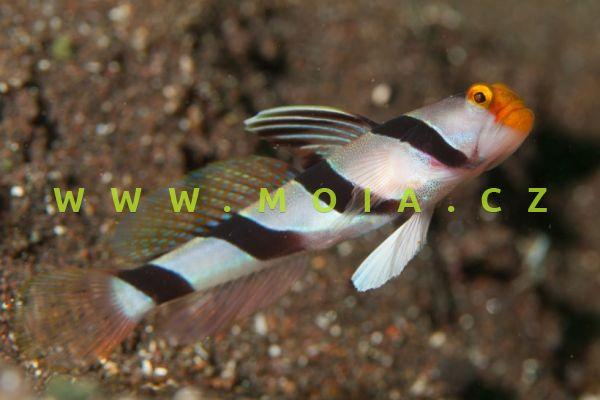 Stonogobiops xanthorhinica  – hlaváč žlutonosý
