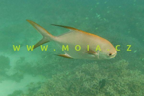 Trachinotus blochii  - vidlatka Blochova