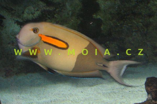 "Acanthurus olivaceus  ""juv"" – bodlok oranžovobodý"