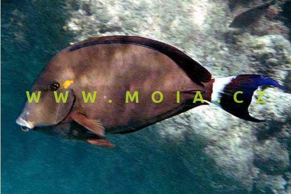 Acanthurus blochii  - bodlok modropáskovaný