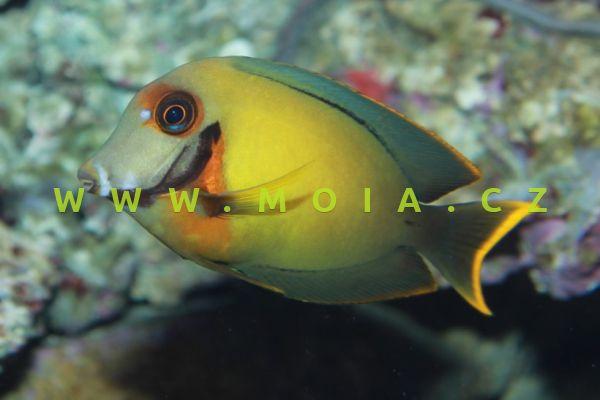 Acanthurus pyroferus – bodlok Pyroferusův