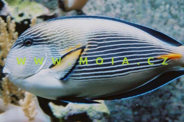 Acanthurus sohal – bodlok rudomořský