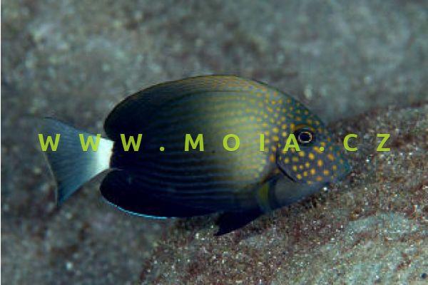 Acanthurus maculiceps  - bodlok skvrnohlavý