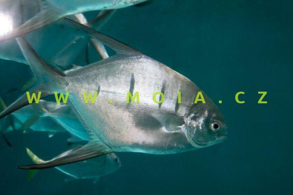 Trachinotus goodei  - vidlatka palometa