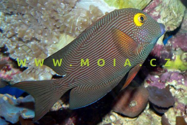 "Ctenochaetus strigosus ""var. Havaii"" – bodlok žlutooký"