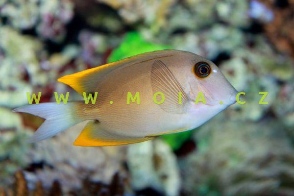 Ctenochaetus tominiensis  – bodlok tominský