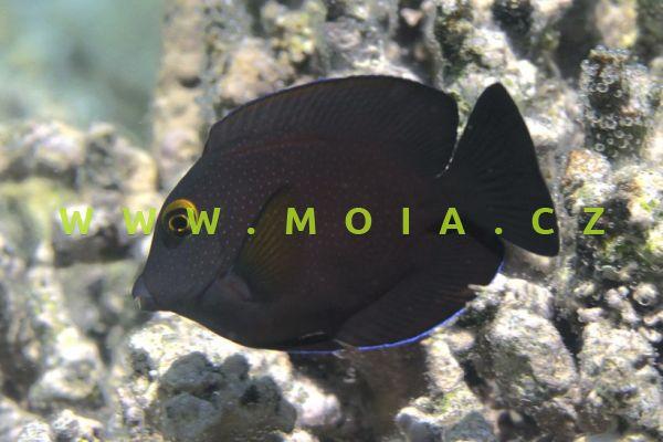 Ctenochaetus truncatus  – bodlok   uťatý