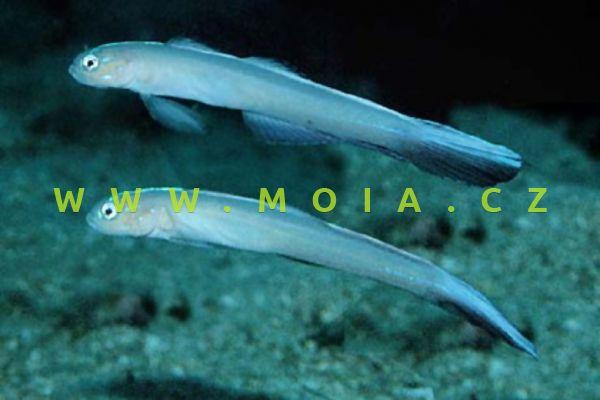 Ptereleotris monoptera  – hlaváčovec    lyroocasý