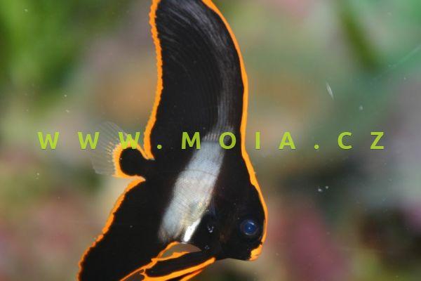 "Platax pinnatus ""juv"" - netopýrník tmavý"