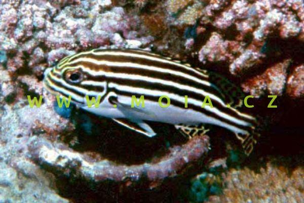 """Plectorhinchus orientalis """"juv"""" - chrochtal východní"""