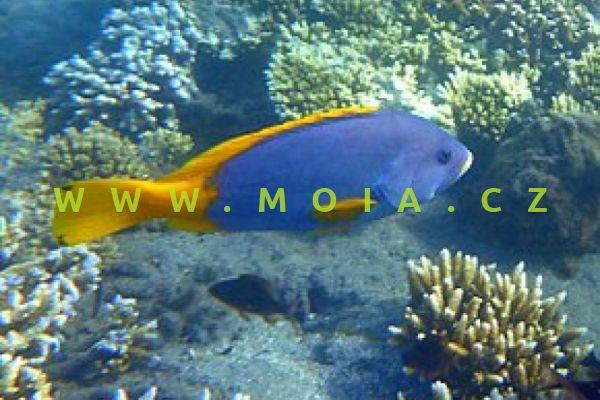 Epinephelus flavocaeruelus - kanic žlutomodrý