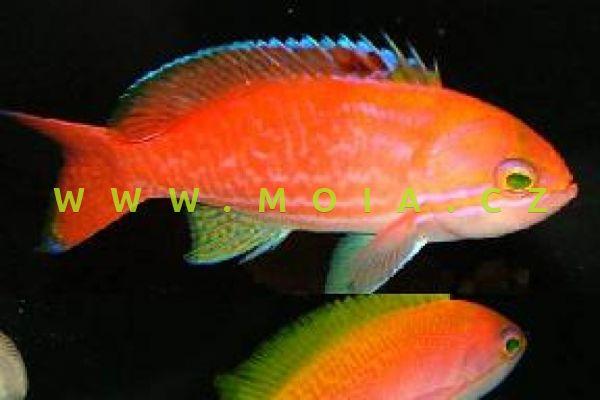 """Pseudanthias bimaculatus """"female"""" - bradáč dvouskvrnný"""