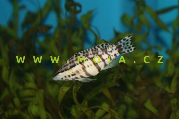 Serranus tigrinus – kanic tygrovaný