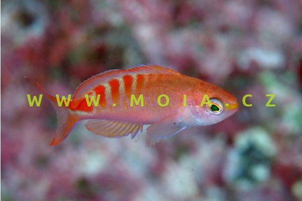 """Pseudanthias lori """"female"""" – bradáč lori"""