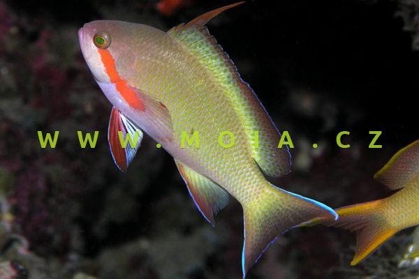 "Pseudanthias huchtii ""male"" - bradáč Huchtii"