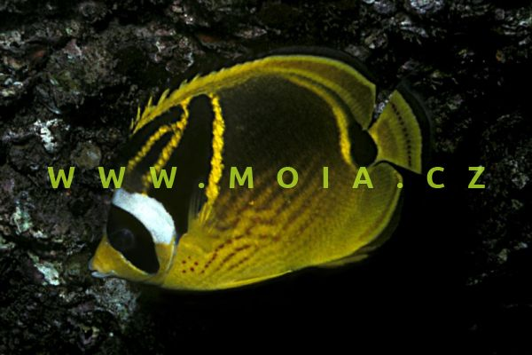 Chaetodon lunula - klipka měsíčková