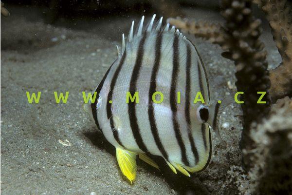 Chaetodon octofasciatus  – klipka osmipruhá
