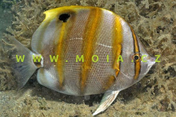 Parachaetodon ocellatus  – klipka očkatá