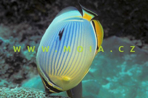 Chaetodon tricinctus  – klipka širokopásá
