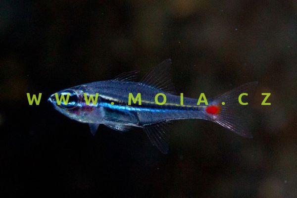 Apogon parvulus - parmovec malý