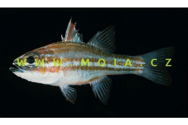 Apogon margaritophorus  - parmovec hnědopruhý