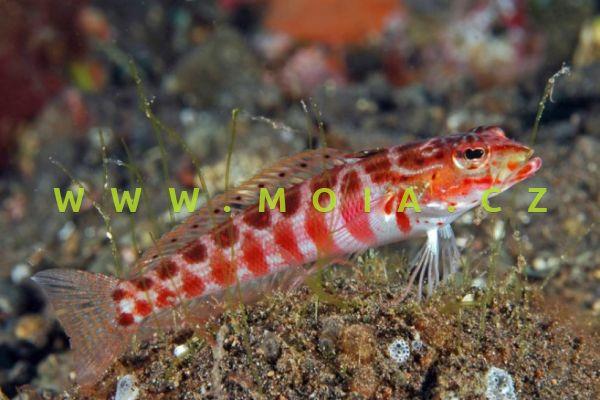Parapercis schauinslandii  – písečník červenoskvrnný