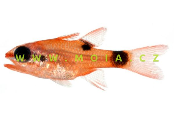 Apogon maculatus  - parmovec poskvrněný
