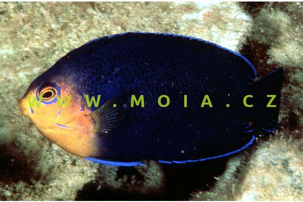 Centropyge argi - pomčík žlutohlavý