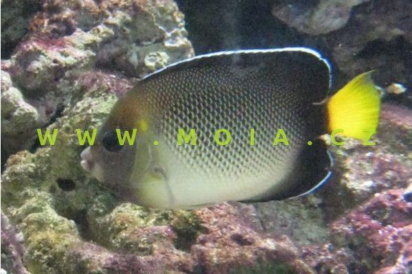Apolemichthys xanthurus  - pomec plavoocasý