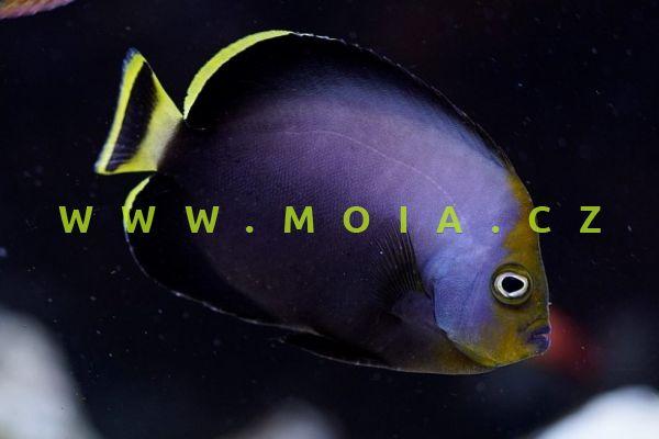 Chaetodontoplus melanosoma  – pomec černotělý