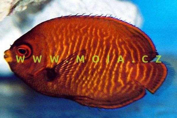 Centropyge aurantia - pomčík zlatý