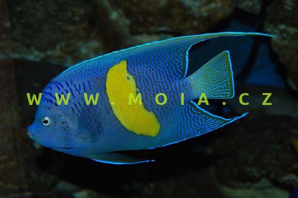 Pomacanthus maculosus – pomec skvrnitý