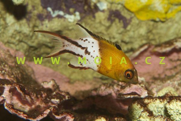 Bodianus anthioides - ostnatec bradáčovitý