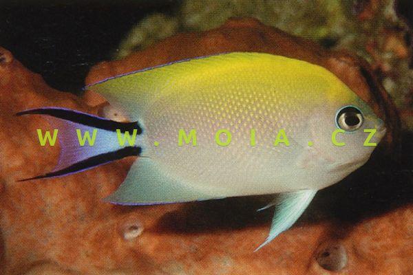 """Genicanthus melanospilos """"male"""" – pomec příčnopruhý"""