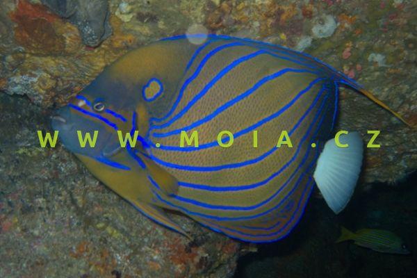 "Pomacanthus annularis ""juv"" – pomec prstenčitý"