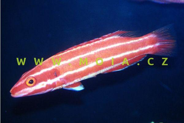 "Bodianus neopercularis ""Pacific"" - ostnatec mentolový"