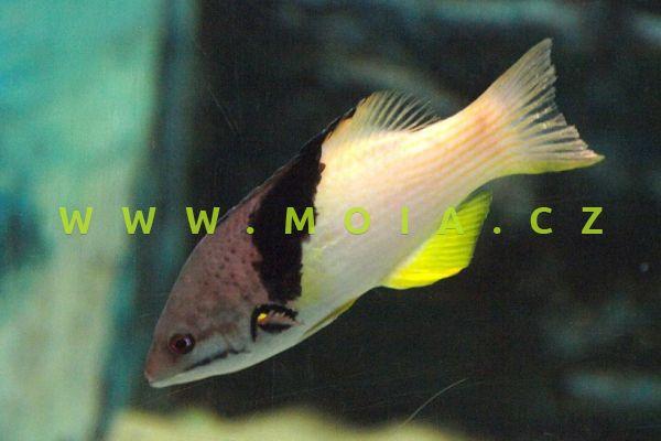 """Bodianus mesothorax """"juv"""" - ostnatec černoklínový"""