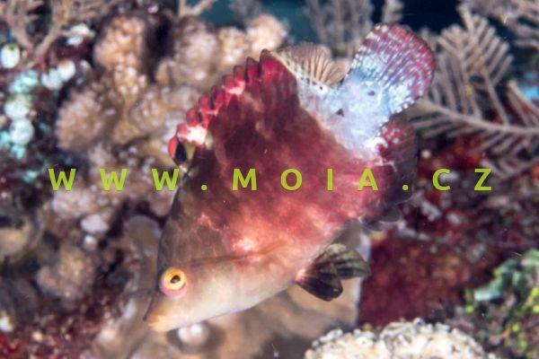 "Cheilinus oxycephalus ""red"" – pyskoun nosatý"