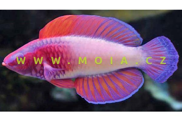 Cirrhilabrus rubrisquamis – pyskoun    rudosametový