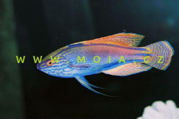 Cirrhilabrus lineatus  – pyskoun purpuropásý