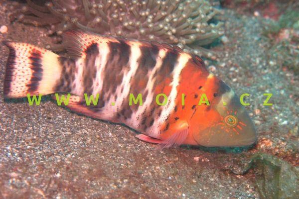 Cheilinus fasciatus – pyskoun příčnopruhý
