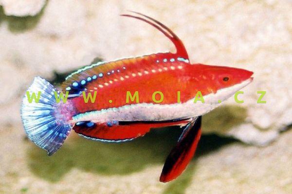 Cirrhilabrus cf rubriventralis – pyskoun  dlouhoploutvý