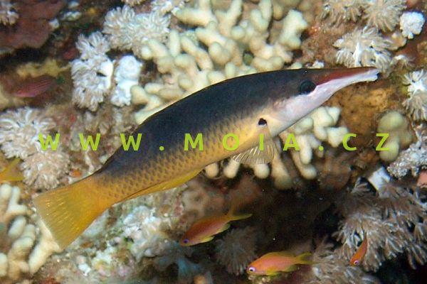 "Gomphosus caeruleus ""female"" – akilolo nosatý"