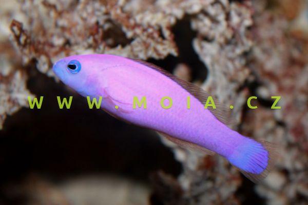 Pictichromis porphyrea  -sapínovec porfyrový